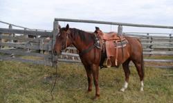 4 year old Registered Chestnut Gelding Broke to ride has been roped off of used in Pastures Needs experianced rider Asking $2000.00 OBO For more info phone calls ONLY (306) 874-2883