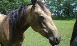 Rey (Reyzin Smoke) is a gorgeous smoky buckskin, registered quarter horse mare born in 2007. She was started and trained by a professional reining trainer for 6months and has at least a years worth of rides on her from a beginner reiner. She has been
