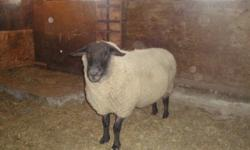 4 year old Suffolk Ram. Proven breeder of several strong twins&triplets with a good temperament. Fine ram $350 would consider trade for another Suffolk Ram. Call 306-254-4710 or 306-230-1487