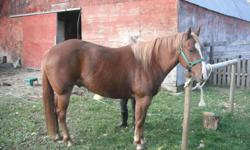 4 Year old Quarter Horse Gelding for sale. He is green broke and has been ridden on roads, trails, and in an arena. He is not spooky and is good with traffic. He requires a confident rider (can be a beginner just not timid). He has tons of potential and
