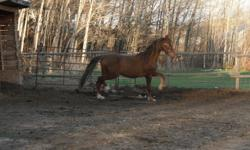 ULITMATE CHRISTMAS GIFT                      AMAZING 4 YEAR OLD AMERICAN SADDLEBRED STALLION                      Grandson of World Champion Surpreme Heir   Excellent addition to any horse family.. . fantastic   hunter jumper   or
