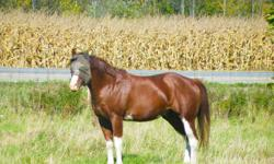 River is a 4 year Registered APHA Stallion. Green broke WTC and ready to start in the discipline of your choice. Quiet stallion, always a gentleman to work with and is easily ridden with other geldings and mares. Mature for his age with a good head on his