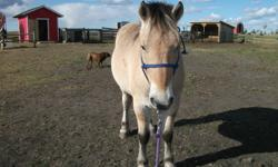 4 yr. old gelding with typical fjord personality, has been under pack boxes a few times, with no issue, however is still green. He has been shoed, trimmed, and loads without problem. Intended to pull wagon with, but never got there. $1200.00 obo.