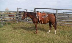 4 year old registered  Chestnut Gelding  broke to ride has been roped off of used in pastures. Needs experianced Rider Asking $2000.00 or OBO For more info calls ONLY (306)874-2883 located near Melfort