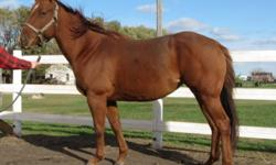 Smartie is a registered 4 yr old quarter horse mare. She is utd on all shots,ferrier and deworming. She loads and trailers well and stands great for the ferrier. She is extremely easy to catch and looks for attention. She has been taken out on trail rides