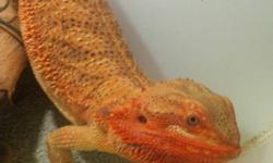 5 tame, beautiful bearded dragons.& enclosure. Enclosure is 4 ft long, 2ft tall, 2ft wide. Lots of driftwood, lights, sand& 5 beardies. All 5 will be three years old this spring. 3 males, 2 females. Both females have produced eggs. Would love for them all