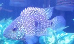 """Very nice 4.5"""" Texas cichlid This guy would make a great addition to a tank with other large Central or South American cichlids. He is in great health and has beautiful colours."""