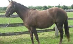Lexi is a 5 year old 14.1 chesnut, quarter pony who is sadly for sale.  She was originally bought as a project pony as she has alot of potential but her owner is currently too busy with university to give her the love and attention she needs.  She was