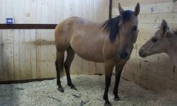 """""""Sonitas Purdy River"""" aka Purdy mama AQHA # 4835550,  is a 2006 Dun mare. Very easy to handle, up to date and great for her feet, vaccs & deworming. She foaled a really nice dun filly this year to my stallion and a dun paint colt in 2010 stallion unknown."""