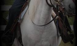 Sadly offering for sale to an approved show home. Our sweet girl ?Grayson? is 12hh, has never been lame, and is a super easy keeper! She is broke to saddle(w/j/l) the kids ride her Western but she has had an English saddle on quite a few times, she is