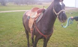 Cole is a 13 hd appy gelding, which is green broke. He lives outside and is a very easy keeper. All shots are up to date and worming. Great winter project, forward moving and would make a great barrel pony. HE is 100% sound and selling due to know time to