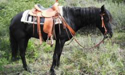 This horse is good on trails, used for herding cows, has been packed in the mountains. No buck, great with trailers, feet, and ties. He is 15HH, has really hard feet, has never been lame, Not very spooky. He is a good all around horse, he is a little