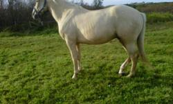 5 year old palomino gelden, very gently and willing , green broke, used mainly for trail riding. Owner must sell . phone # 709-645-2709