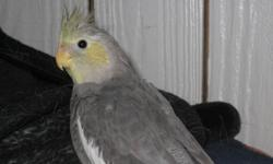 I have a 6 month old cockatiel loking for it's forever home. When this guy was about 3 months old he got out of the cage and my dogs thought it was fun to play with him. He was not harmed with the exception of his tail feathers being pulled out :(  He has