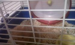 very quite i have the spining wheel that you dont hear she has never bitten anyone loves to be held she comes with her exersize ball, cage, water bottle her food and shavings email if interested