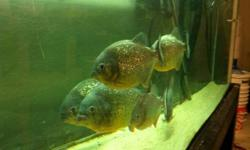 I have 6 Red Belly Piranhas I have owned for about a year. They are fed a diet of tilapia, shrimp, or any white fish fillet soaked it vitachem. They are fed every 2-3 days. I am looking to get $150 for the group and I won't part out.You would pay $270+tax