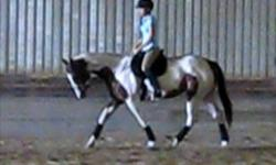Lily is a 15.3 hh six year old APHA mare. She is friendly and easy-going on the ground with lots of personality but attentive and responsive under saddle. Although she is extremely quiet, I am looking for someone with english riding experience to