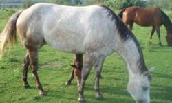 """Destiny is a beautiful gentel horse. She is basicly """"bomb"""" proof as some might say. She has had 6 months of western training, but can also be used under English. Destny is amazng with younger or beginner riders. She loves trail riding and is great to take"""