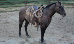 This is a 6 yr old grulla gelding who is 15.2 hh and solid built he has done cow work rode coulees been through rough country he has a slidding stop and excellent back up he has a very nice head positioning gets along with other horses would make a