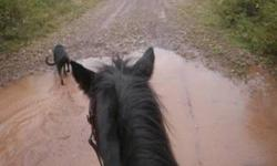 She has been ridden by children and adults.We have used her mostly on trails and she goes alone and in groups. Walk, trot, and canter without a problem. She was previously used in a lessons and for pony rides. She could make a show pony with the right
