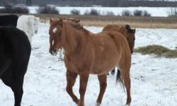 $2500.00 OBO We have a 6yr gelding Papered goes back to Jewel Dun It, Two Eyed Twister and so on. He has been rode in community pastures. Just looking to move him. Call to talk to Ian