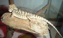 Must sell my bearded dragon, Pascal.  He's 7 months old and comes with an 80 g tall tank, heat light and heating pad, eko dishes, vitamins and accessories, food and a book about beardie's and a roll of screen for the top. I'm asking 250.00 at the least!