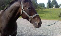 Hello I want to sell my horse, he has a wonderful personailty and is as sweet as they come. Bathes, trailers, hot shoes and much more. He is green broke, but has never offered me a rear or any bad behavior. When I bought him he had seedy toe in one hoof,