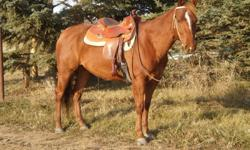 Eugene is a handsome 7 year old Quarter Horse Gelding. He is Sorrel with a star, stripe and snip. He stands about 15.1. I have had Eugene since a coming 2 year old shown him in reining for his 3,4,5 and 6 year old years. He is a huge stopper, +1/2 turner,