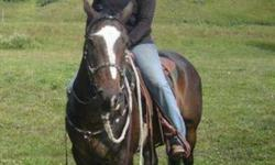 7 year old registered APHA solid bred bay gelding (solid paint).  15.1hh, stout build, lots of stamina - good ranch prospect.  Mountain ridden for 4 years, hauls well, excellent feet.  Responsive, friendly, lots of potential, needs a semi-confident rider