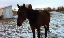 I have a seven year old thoroughbred gelding off the track. He is over 17 hands high. Was pulled off the track due to a slight bowed tendon, but has been vet checked and good to ride. I have all of his papers. He has an amazing personality and is broke to