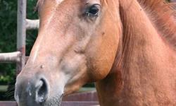 """2005 Sorrel Mare Major Glassful. """"Smokin? is a very well bred 14.2hh mare. She was started late and has been taken along slow and correct. She is well broke, lopes circles, spins, counter bends and has an amazing stop. She is lightly started on barrels"""
