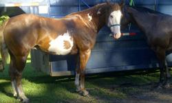 Jake   7 yr old well broke Paint Gelding.   -bareback -trial rides -cattle drives -arenas -KIDS -parades Jake is a great horse, and I believe he would make a great 4-H mate.!!   I am asking $2000.00.   Please Contact me for more details : 306-538-4530
