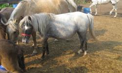 annabelle is an unregistered welsh pony mare. stands approx 10.3 lives outside and is an easier keeper is a great mother and foals easily she is not broke. is up to date with farrier and worming has had 3 coloured foals and 1 pure black foal is presently