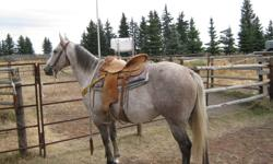 Good looking, quiet, friendly gelding.  Well bred and papered.  Stands 14.3 HH.  Neck reins and side passes, will suit any level of rider.  Call 306-398-2957.  NO EMAILS PLEASE.