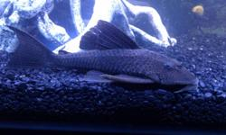 i have a large pleco for sale, i am moving my tanks around and he will be to big to go into the 55 gal tank. hes in an 80gal tank now and is fine in there.. so anything that size and bigger would be best for him. he does keep the tank clean, and even