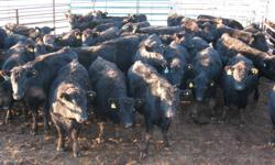 87 Home raised bred heifers from reputation ranch. 39 blacks, 37 reds, 11 rbf. 10 of the reds and blacks are purebred unpapered angus, the rest are angusX, and angus X simmental. Bulls turned out July 15 for 60 days. Bulls are low birthweight, high vigor