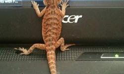 Ignacia is a 8 month old female bearded dragon. I have had her since she was able to leave her clutch. I bought her from a breeder in Kelowna. Ignacia is a very big piggy and loves her pellets and veggies and most far her worms haha. she loves to chase