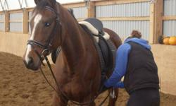16.2H TB BAY GELDING. GOES WALK, TROT, CANTER, STARTED AUTO CHANGES, LEG YEILDS, SMALL JUMPS, AND GREAT ON TRAILS. GREAT FOR FARRIER, VET, BATH, CLIP. UTD ON EVERYTHING. CURRENTLY IN DRESSAGE TRAINING WITH MICHELE OTTIGER, AND DOING VERY WELL. WOULD BEST