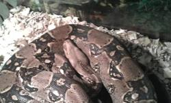 I have around 9 foot boa its friendly, i feed it every two weeks Comes with tank light hide rock