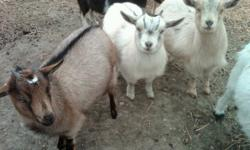 3 Dwarf Nanny goats.  They were born last April.  They are all pets.  I would like $70 each.