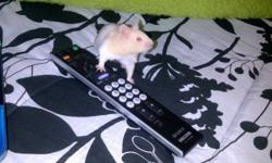 """I purchased a Hamster three weeks ago. It was 6 weeks old at the time of purchase, he is now 9 weeks old. He is very tame, loving, and 100% healthy. Unfortunately I have discovered that I have a slight allergy to """"Nutters"""" and am looking to sell him. With"""