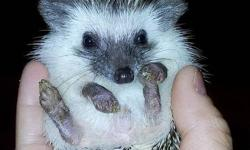 Fully weaned Algerian Pinto hedgehogs for sale! :) 1 boy left!!! 2 has been sold! :) All of them are very adorable and been handled since 2 weeks old. Pretty and friendly! Let me know if anyone is interested. All these hedgehogs comes with papers.