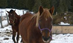 """It is with regret that I am selling my 9 yr old Quarter Horse/Belgian Mare. She just isn't a good fit for our family. She is 15.3HH, and as the pictures show she is well built. """"Willow"""" is always at the gate to meet us when she hears our truck. She would"""