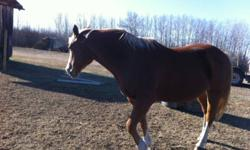 Bailey is a 9 year old broke mare excellent potential for heavy colt brew mare. 17 hh loves attention rode lots this summer. $1000 firm This ad was posted with the Kijiji Classifieds app.