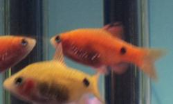 $3 for a pair .   4.5CM  The red one is male, yellow is female.   A pair of Red glass rosy barb bought from Pet Smart in May .   Very hardy peaceful tropical fish with bright beautiful color and transparent body.     20 gallon aquarium+ , suitable for