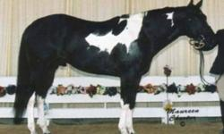 Temperament second to none- 1999 16.2 HH (hypp n/n) Black Tobiano Sport Horse & Hunter Under Saddle Stallion registered APHA & PTHA, Futurity Champion Halter Horse. He continually produces Champions in the show ring in Halter, HUS, Jumping, Dressage, WP &
