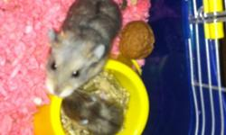 6 Baby Dwarf hamsters. Need to be re-homed ASAP. $10.00 each. Very good natured Eating and drinking in their own. They love fresh veggies but will eat pellets too. There is no cage. You will have to bring your own. -They are not snake food- Picture 1 is