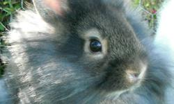 This little male lionhead is the cutest little guy!   He was born in July and is now ready for his forever home!      This little boy is happy, healthy and has been raised inside our home. He is used to being handled daily and loves attention. He has a