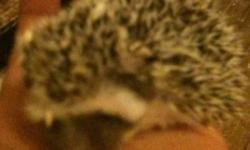I have 2 baby hedgehogs, both males born on December 11th that will be available near the end of January when they are 6 weeks old. They are very cute and playful.150$ each or best offer. 50$ deposit and you can arrange to see them and choose the one you