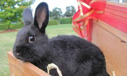 These adorable dwarf X rex bunnies are 8 weeks old as of September 26, 2011. There are two males and one female.